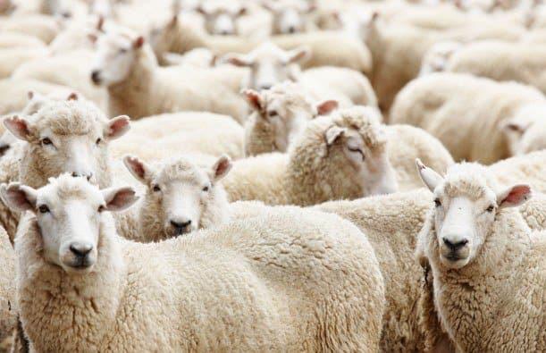Mouton follower